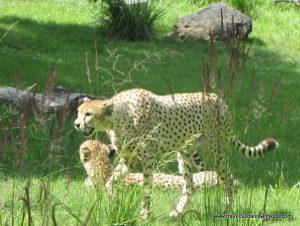 National-Zoo-Cheetah