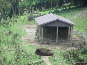 Bison-WV-Wildlife-Center