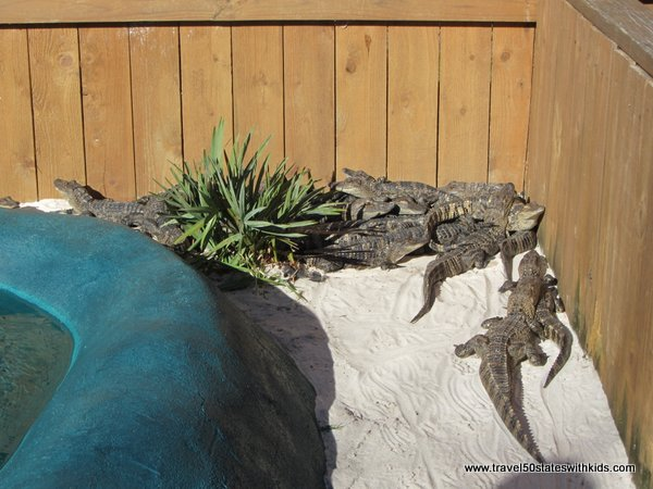Alligator huddle