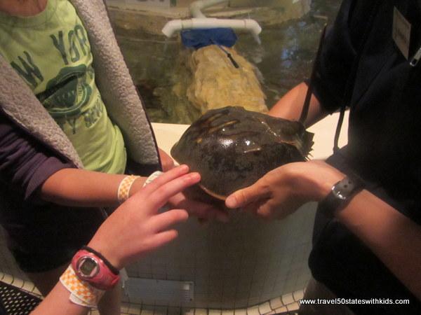 Jenkinsons Aquarium horseshoe crab