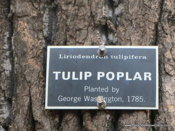 Tulip Poplar planted by George Washington at Mount Vernon