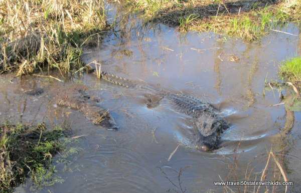 Two alligators in swamp