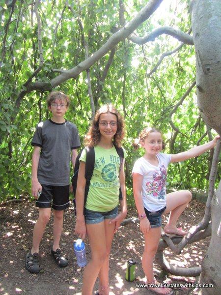 Hideaway tree at Holden Arboretum