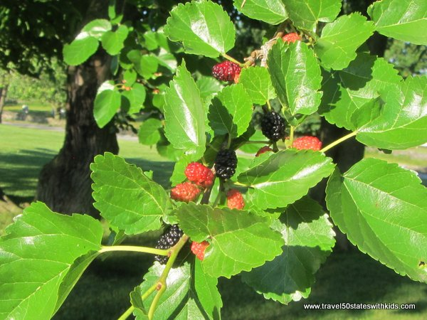 Mulberries at Shaker Village