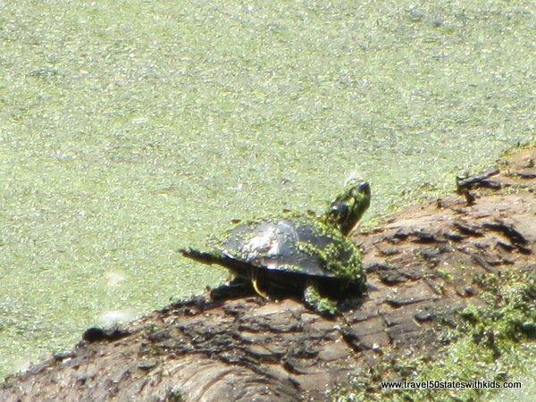 Turtle at Holden Arboretum