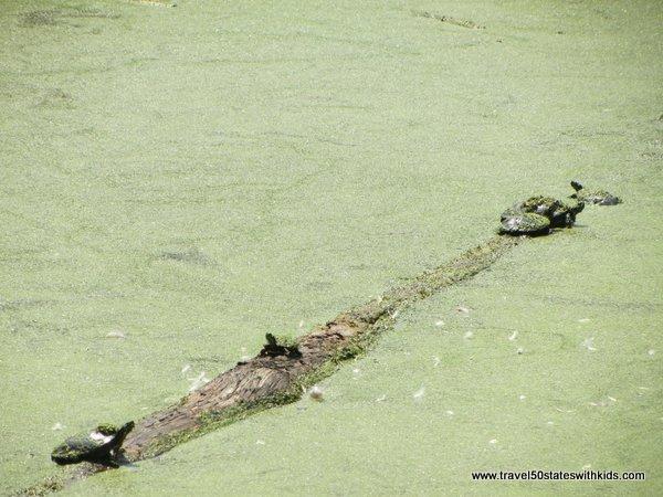 Turtles on a log at Holden Arboretum