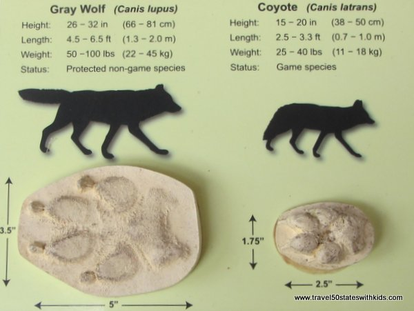 Comparing wolf and coyote paw prints