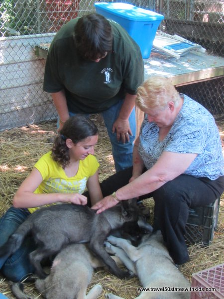 Playing with wolf cubs at Wolf Creek Habitat