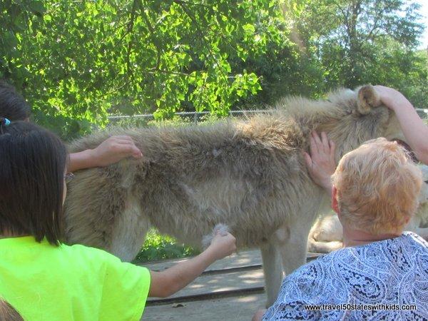 Pulling fur off a wolf at Wolf Creek Habitat