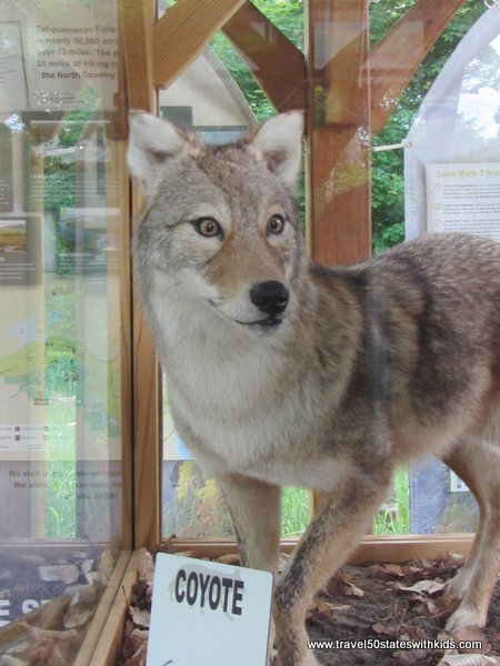 Stuffed coyote
