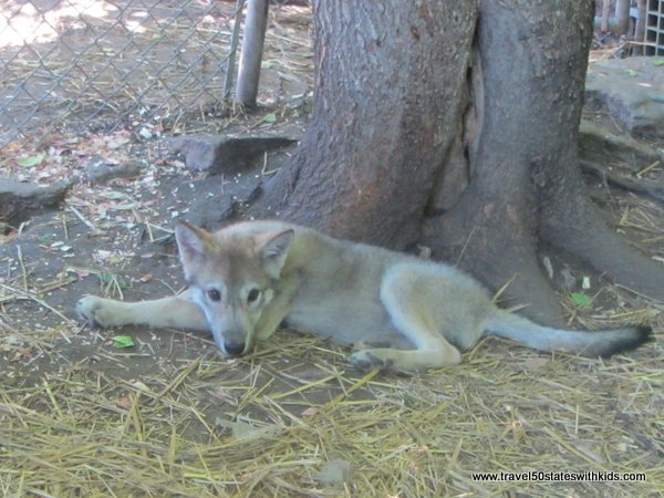 Wolf Cub - Wolf Creek Habitat