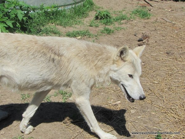 Wolf at Wolf Creek Habitat