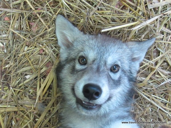 Wolf baby face