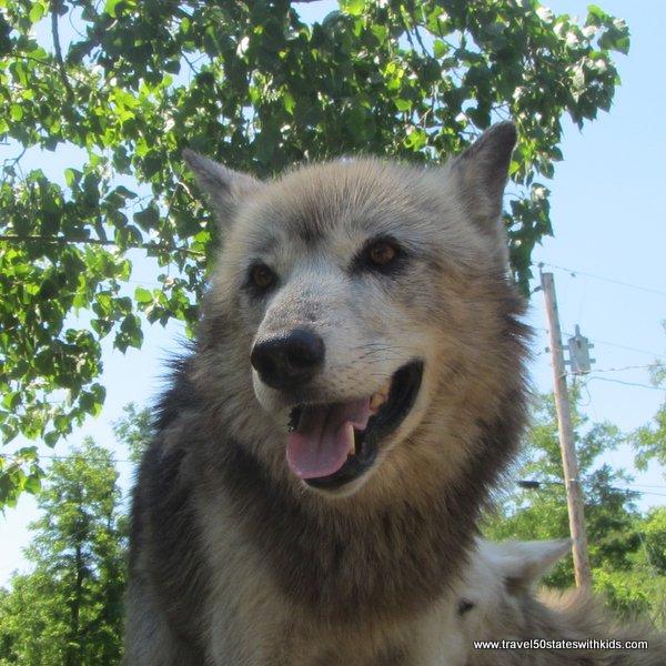 Wolf closeup at Wolf Creek Habitat
