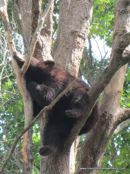 Bear napping in a tree at Oswald's Bear Ranch