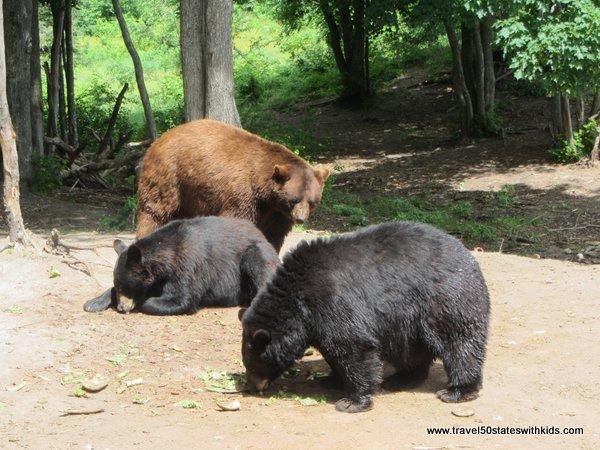 Big black bears at Oswald's Bear Ranch