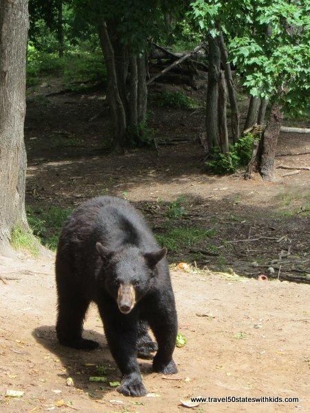 Black Bear at Oswald's Bear Ranch