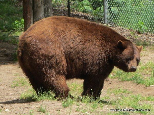 Brown Black Bear at Oswald's Bear Ranch