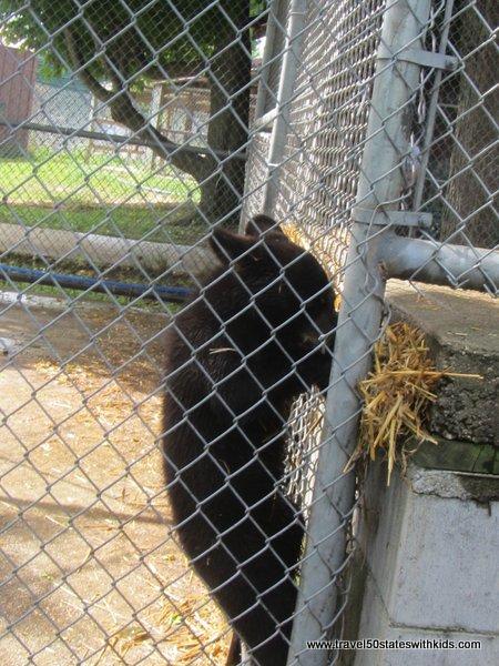 Curious bear cubs at Oswald's Bear Ranch