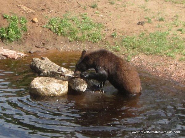 Feeding bear apples at Oswald's Bear Ranch