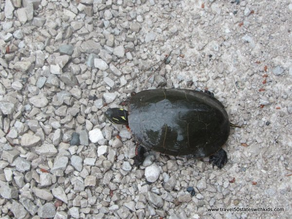Painted Turtle at Seney NWR