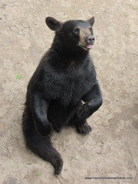 Sit, bear, sit! At Oswald's Bear Ranch
