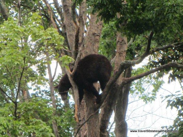 Tree climbing bear at Oswald's Bear Ranch