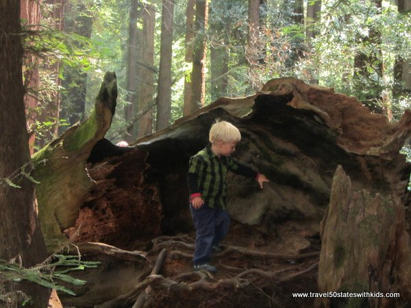 Exploring a fallen tree at Muir Woods