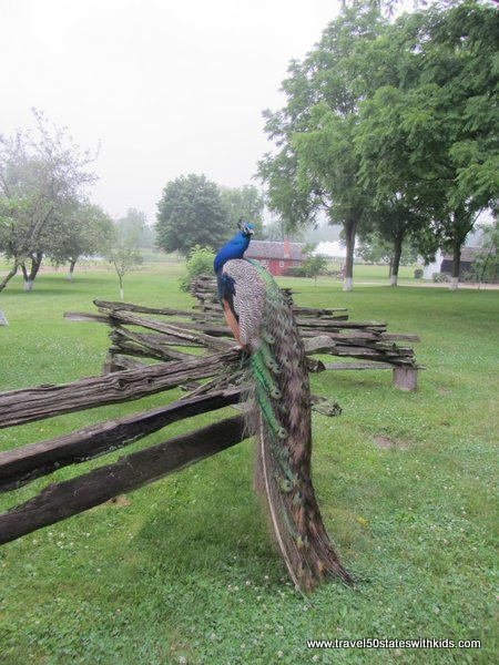 Peacock at Amish Acres