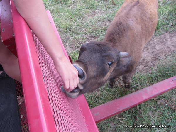 Feeding a bison calf