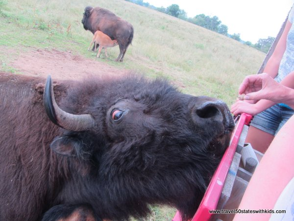 Feeding corn pellets to bison