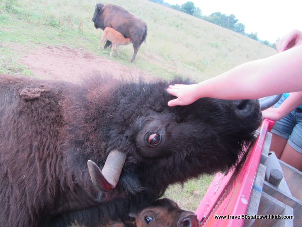Petting a bison