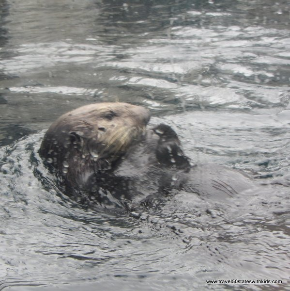 Sea Otter at Monterey Bay Aquarium
