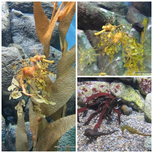 Seahorse Collage - Monterey Bay Aquarium