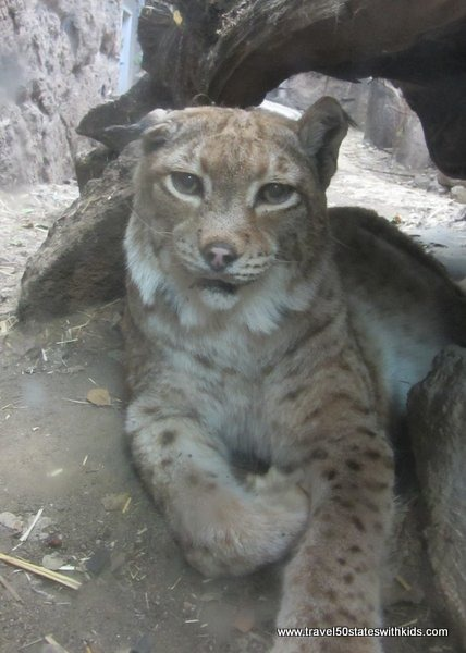 Lynx at High Desert Museum