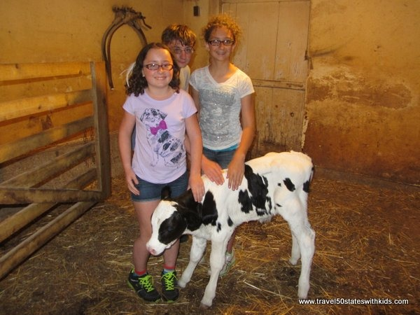 Baby calf at Amish farm