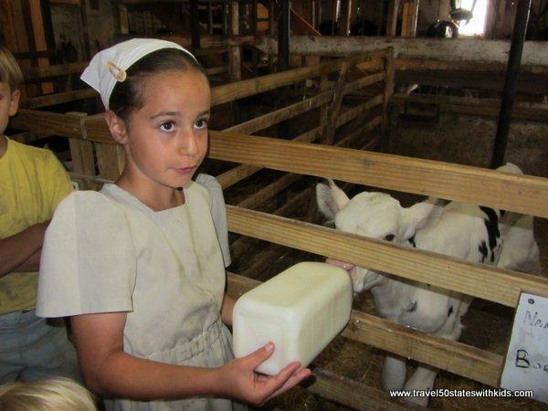 Feeding a calf at an Amish Farm - Indiana