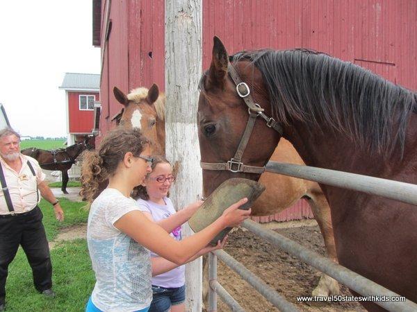 Feeding horses at an Amish farm
